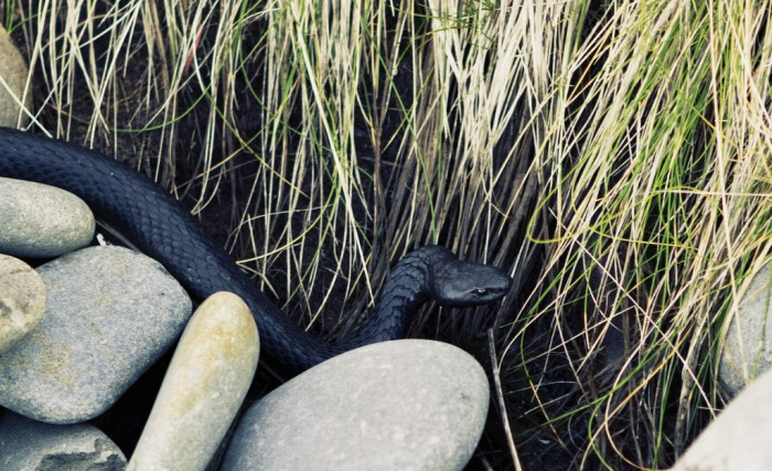 Tasmanian Copperhead Snake