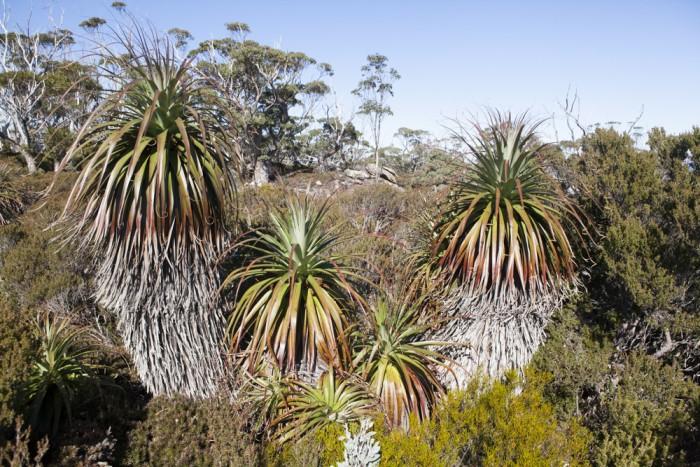 Richea pandanifolia