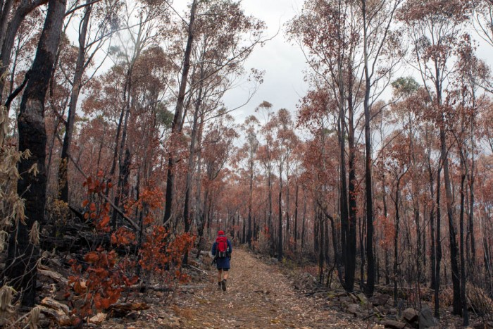 Burnt Forest on Mount Dromedary Track